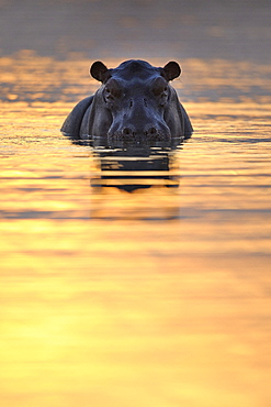 Hippopotamus (Hippopotamus amphibius) in water at sunset, Hwange, Zimbabwe