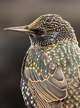 Starling (Sturnus vulagaris) close up, England