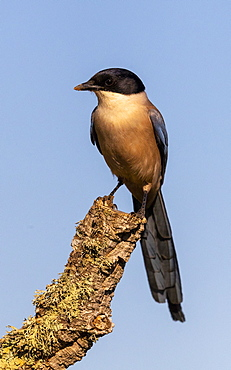 Azure-winged magpie (Cyanopica cyanus) perched in a tree, Spain