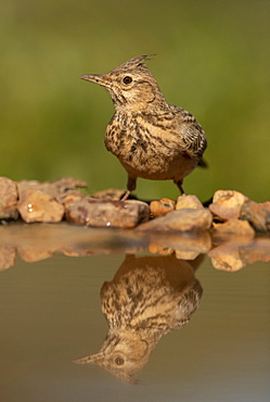 Crested lark (Galerida cristata) reflection in water, Spain