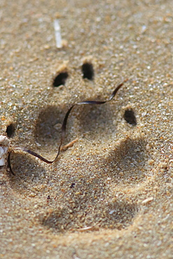 Golden jackal (Canis aureus) footprint in sand, Mauritania