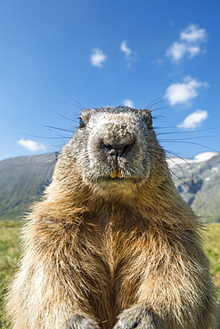 Alpine marmot ( Marmota marmota), curious and close-up, Wideangle, National Park Hohe Tauern, Austria