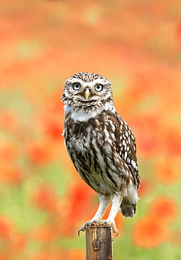 Little owl (Athena noctua) perched on a post amongst poppys, England