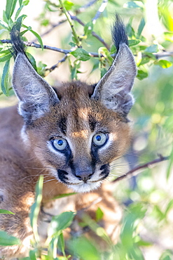 Caracal (Caracal caracal) , Occurs in Africa and Asia, Young animal 9 weeks old, in a tree, Captive.
