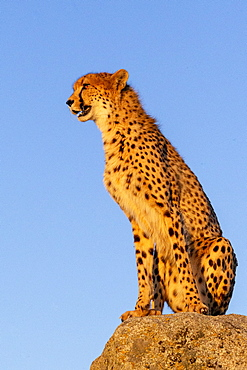 Cheetah (Acinonyx jubatus), occurs in Africa, one adult on rocks, captive