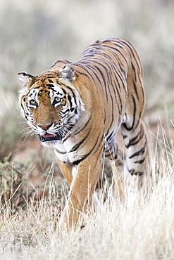 Asian (Bengal) Tiger (Panthera tigris tigris), walking, Private reserve, South Africa