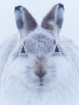 A Mountain Hare (Lepus timidus) in the Cairngorms National Park, Scotland.