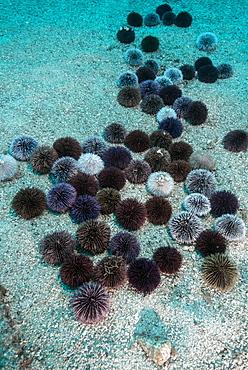 Violet Sea Urchin (Sphaerechinus granularis), Tenerife, Canary Islands, Spain, Atlantic Ocean