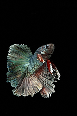 Siamese fighting fish (Betta splendens) 'Copper Metallic' male