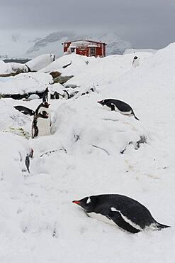 Gentoo penguin colony, Pygoscelis papua, at Petermann Island, Antarctica.