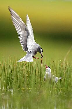 Couple of Whiskered Tern (Chlidonias hybrida) with prenuptial gifts, Lagoon Bele?a, Guadalajara, Spain