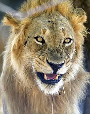 portrait of Lion (Panthera leo), South Luangwa NP, Zambia