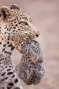 African Leopard (Panthera pardus) female carrying its young, Botswana