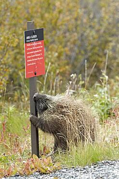 Porcupine (Erethizon dorsatum) gnawing on a pole, Denali NP, Alaska, France