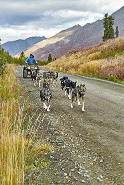 Musher preparing and training his dogs in autumn for the Iditarod. Denali Highway: Paxson to Cantwell, Alaska