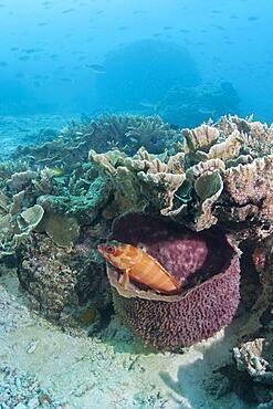 Blacktip grouper (Epinephelus fasciatus) in a sponge. Heron Island. Great Barrier Reef. Queensland. Autralia.