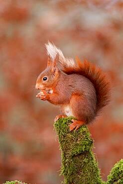 Red squirrel (Sciurus vulgaris, grove, Rouesse Vasse, Sarthe, Pays de la Loire, France