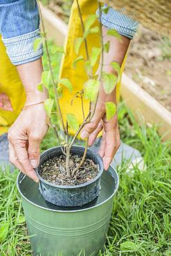 Planting a sage step by step: Soak the root ball.