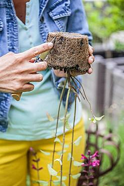 Planting a sage step by step: Incision of a clod with a knife to help the recovery.