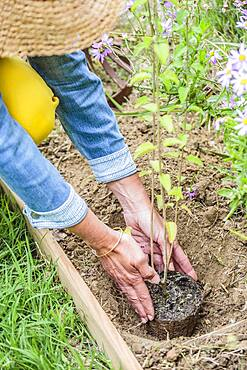 Planting a sage step by step: placement of the plant in its planting hole.