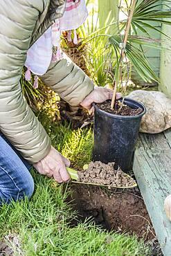 Planting a honeysuckle: adjusting the planting hole.