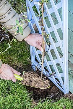 Planting a honeysuckle: filling the hole and setting