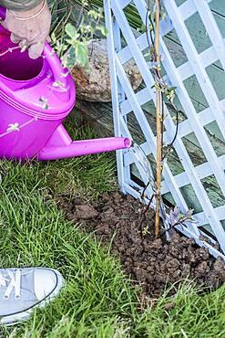Planting a honeysuckle: watering