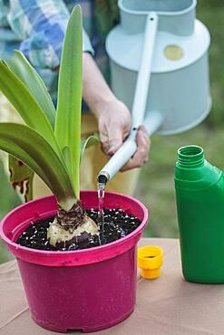 Make a Amaryllis (Hippeastrum sp) bloom again. 4 Fertilize