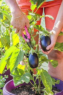 Harvest of an eggplant grown in a pot