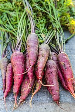 Carrot 'Cosmic Purple', rich in pigments (anthocyanins)