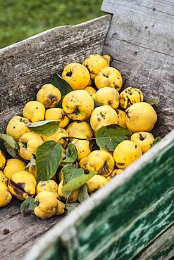 Harvest quince 'Bourgeaud' (or Bourgeault) in a wheelbarrow. Quince 'Bourgeault': Old variety, smaller than the classic 'Monstrous Vranja', but more fragrant. Spelling of the variable name.