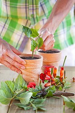 Cutting the bignone (Campsis radicans) 4. Putting the cutting in its pot.
