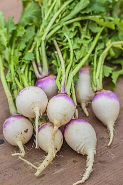 Turnips 'Blanc globe a collet violet' freshly harvested.