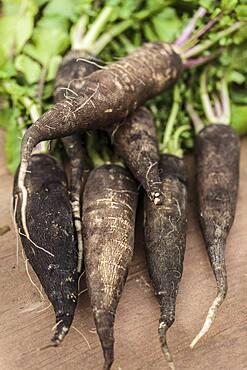 Radish 'Noir long maraicher' : 'Black long market gardener'. Winter radish also called 'Noir long poids d'horloge : 'Black long clock weight'