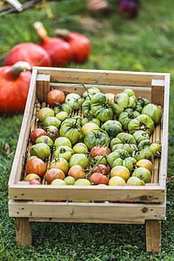 Green tomatoes set to ripen on a shelf. The fruits will eventually mature, even picked very young and very green.