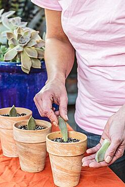 Woman cutting a porcelain plant (Graptopetalum paraguayense). Graptopetalum is easy to cut from broken leaves.
