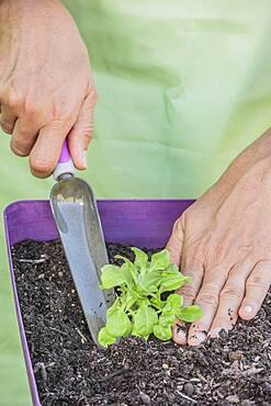 Plantation of lamb's lettuce