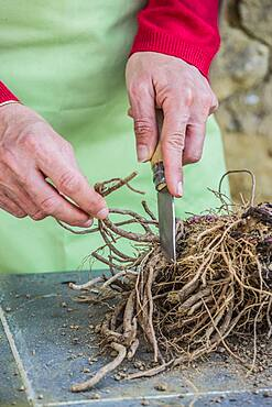 Cutting root of Thistle (Echinops ritro) step by step. 2: Select the roots.