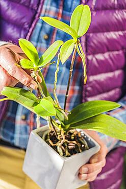 Man separating a keiki on a Phalaenopsis, orchid-butterfly. Step by step.