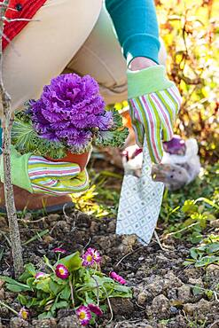 Woman planting an ornamental cabbage, in autumn.