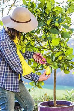 Woman harvesting lemons 'Lunario'