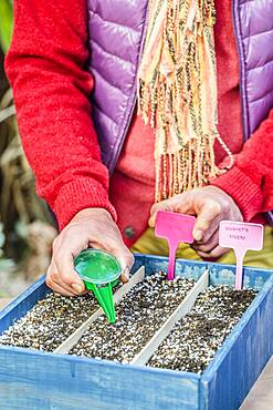 Sowing young vegetables under cover in a box, saves time for early vegetables ... or harvest before the hour indoors.