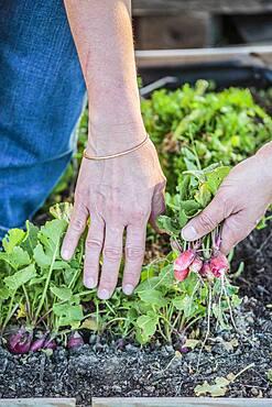 Harvest of radish (Raphanus sativus) early in the winter