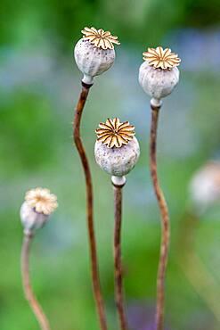 Opium Poppy (Papaver somniferum) capsules after flowering in summer, Hauts de France
