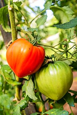 """Tomato (Solanum lycopersicum) """"heart of beef"""" in a kitchen garden, summer, Moselle"""