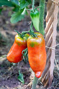 """Red Tomatoes (Solanum lycopersicum) red """"Andine cornue"""" in a kitchen garden in summer, Moselle"""