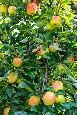 Delbard summer' apples on the tree in an orchard in summer