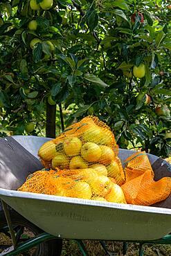 Summer Delbard' apple fillets in a wheelbarrow in summer