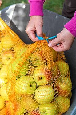 Woman closing a summer apple fillet 'Delbard summer'