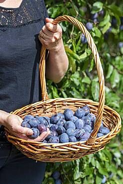 Woman picking 'Stanley' plums in summer, Alsace